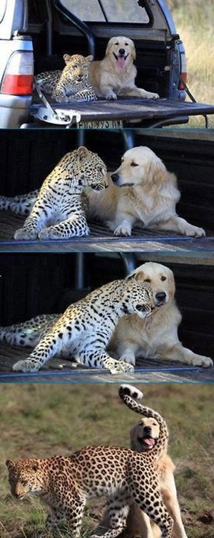 Labrador, Cheetah, Humor, Humour, Cute, LOLDog, LOLCat